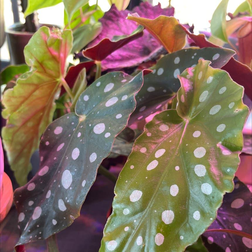 Polka Dot Begonia plant in Reedley, California