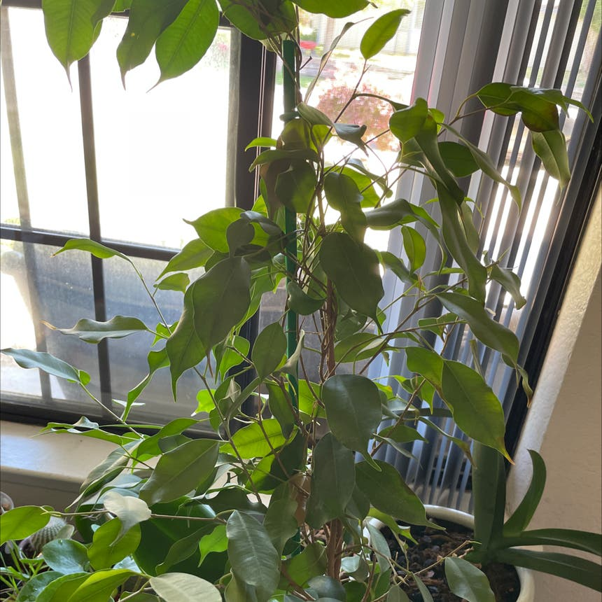 Weeping Fig plant in Reedley, California