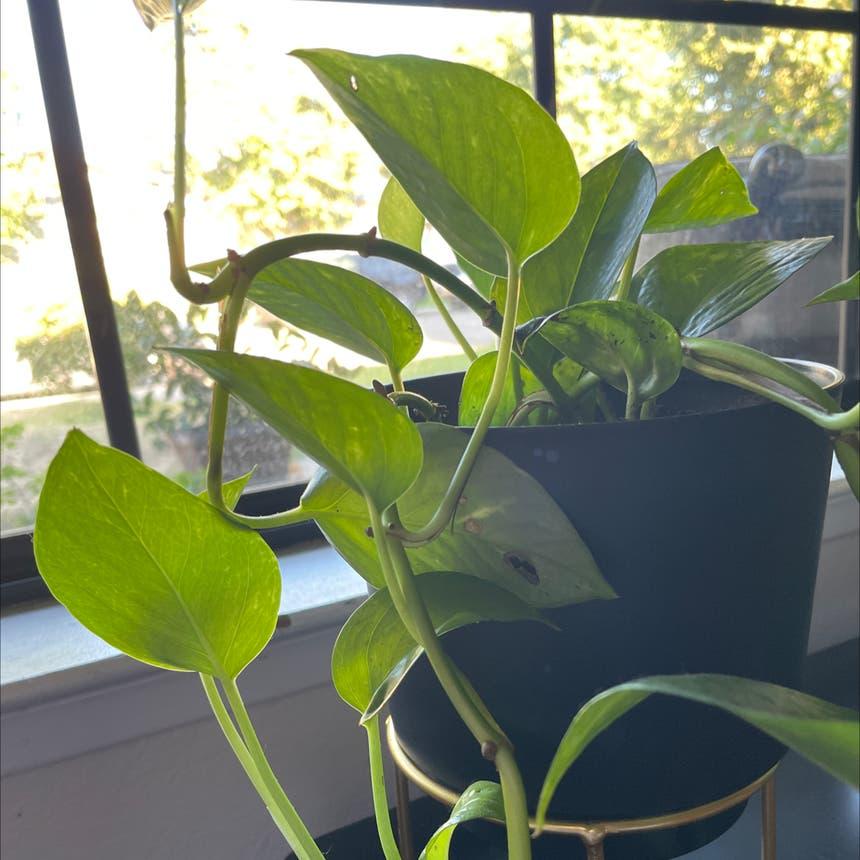 Golden Pothos plant in Reedley, California