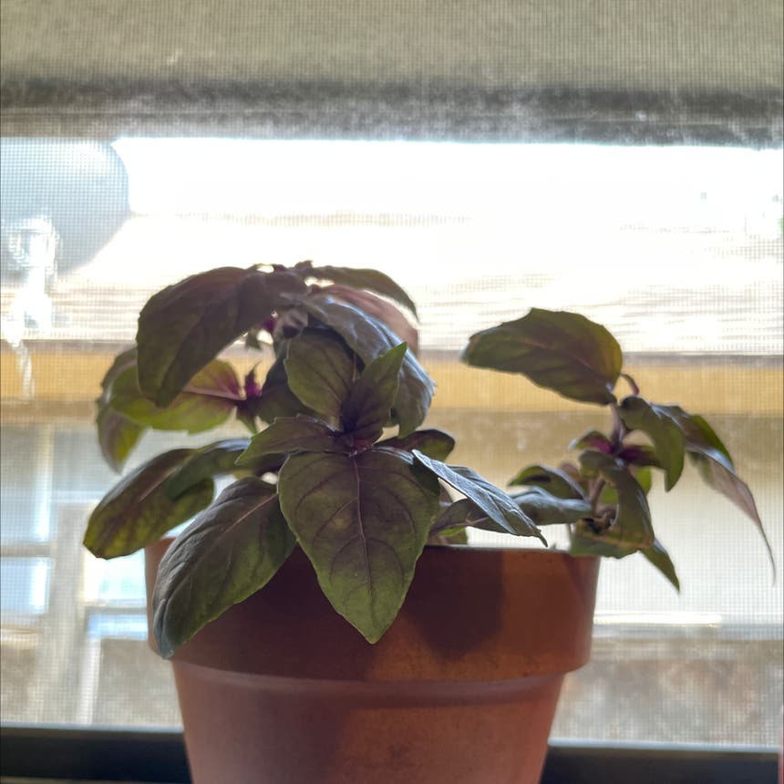 Basil Purple Ruffles plant in Reedley, California