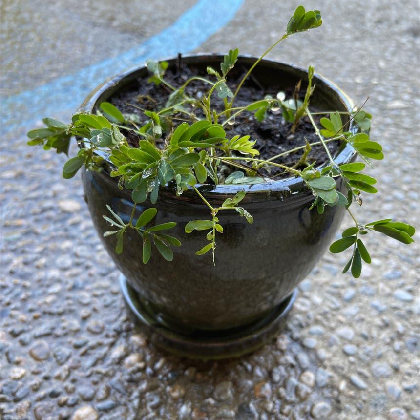 Sensitive Plant plant in Reedley, California