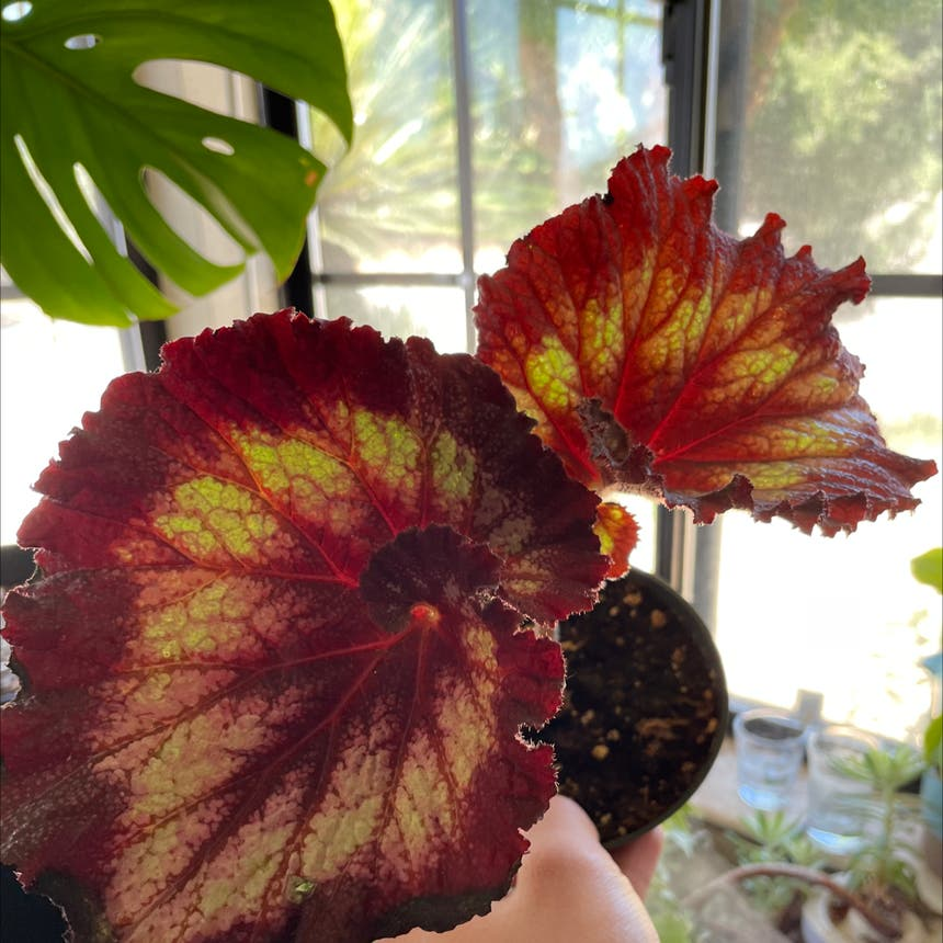 Rex Begonia plant in Reedley, California