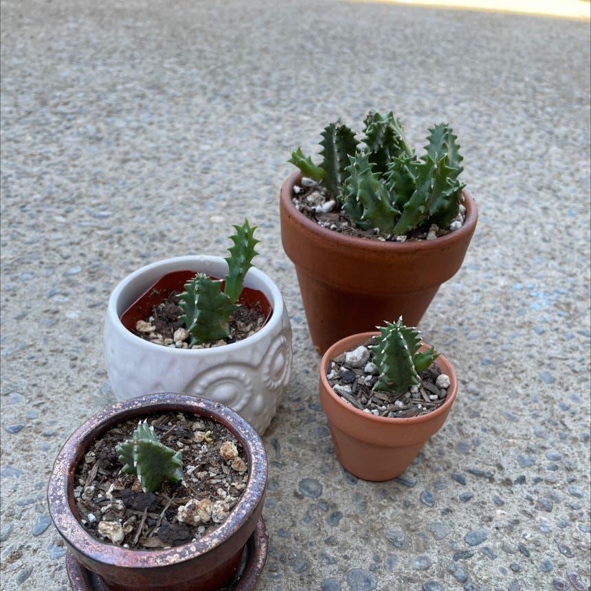 Lifesaver Cactus plant in Reedley, California