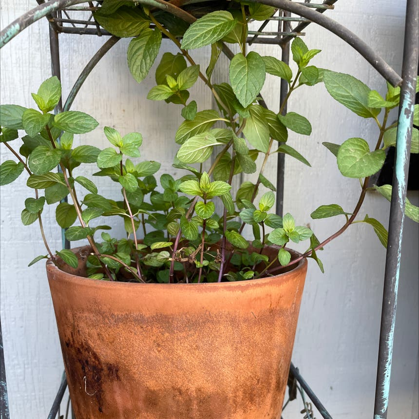 Chocolate Mint plant in Reedley, California