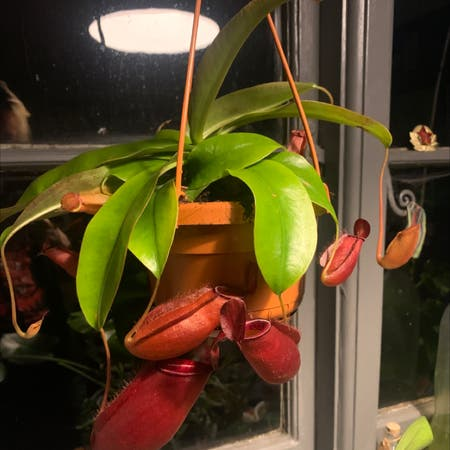 Photo of the plant species Nepenthes 'Diana' by Aayling named Anton on Greg, the plant care app