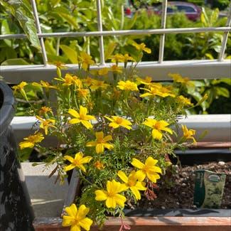 Dwarf marigold plant in Seattle, Washington