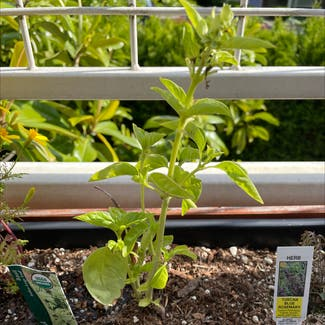 Sweet Basil plant in Seattle, Washington