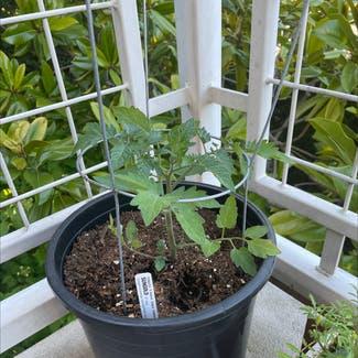 Tomato Plant plant in Seattle, Washington