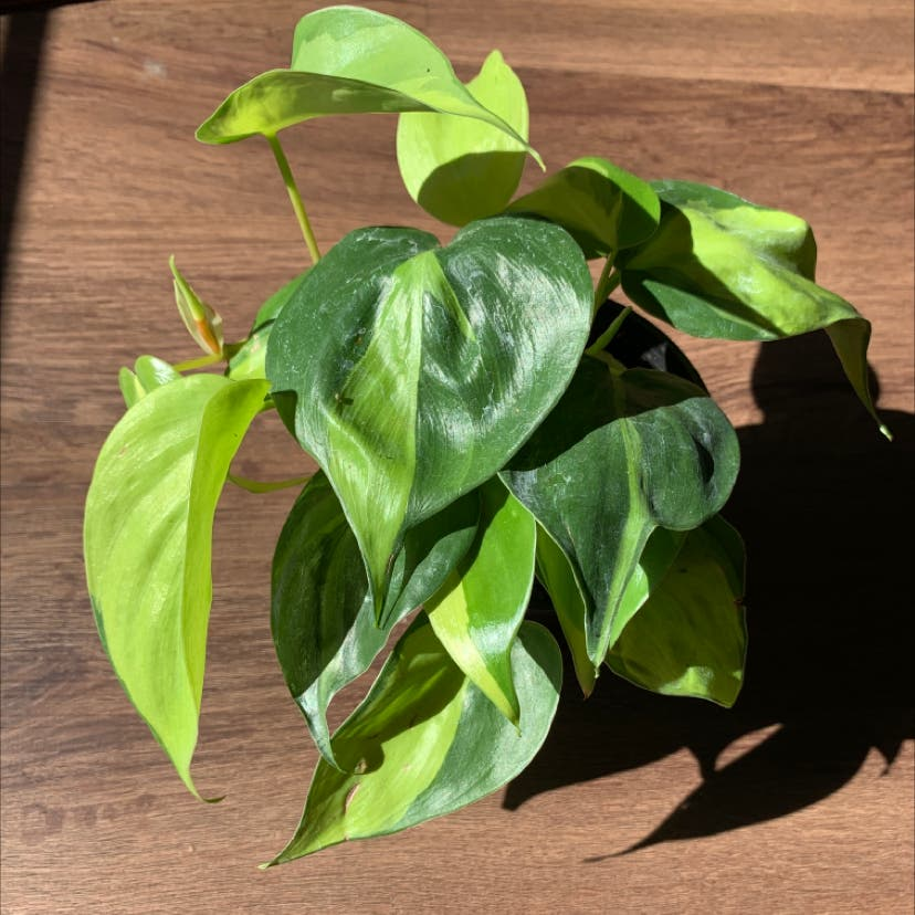 Philodendron 'Brasil' plant in St. Louis, Missouri