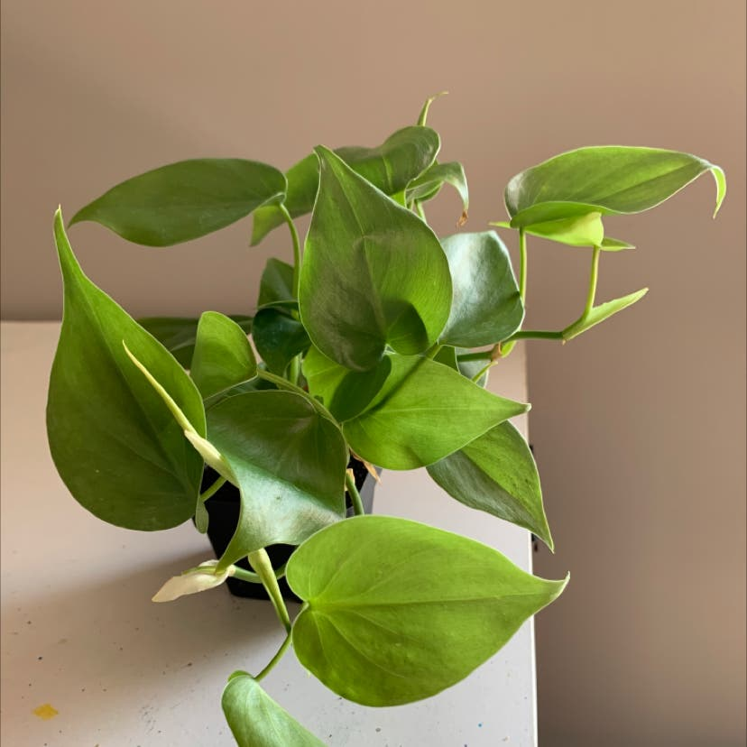 Heartleaf philodendron plant in St. Louis, Missouri
