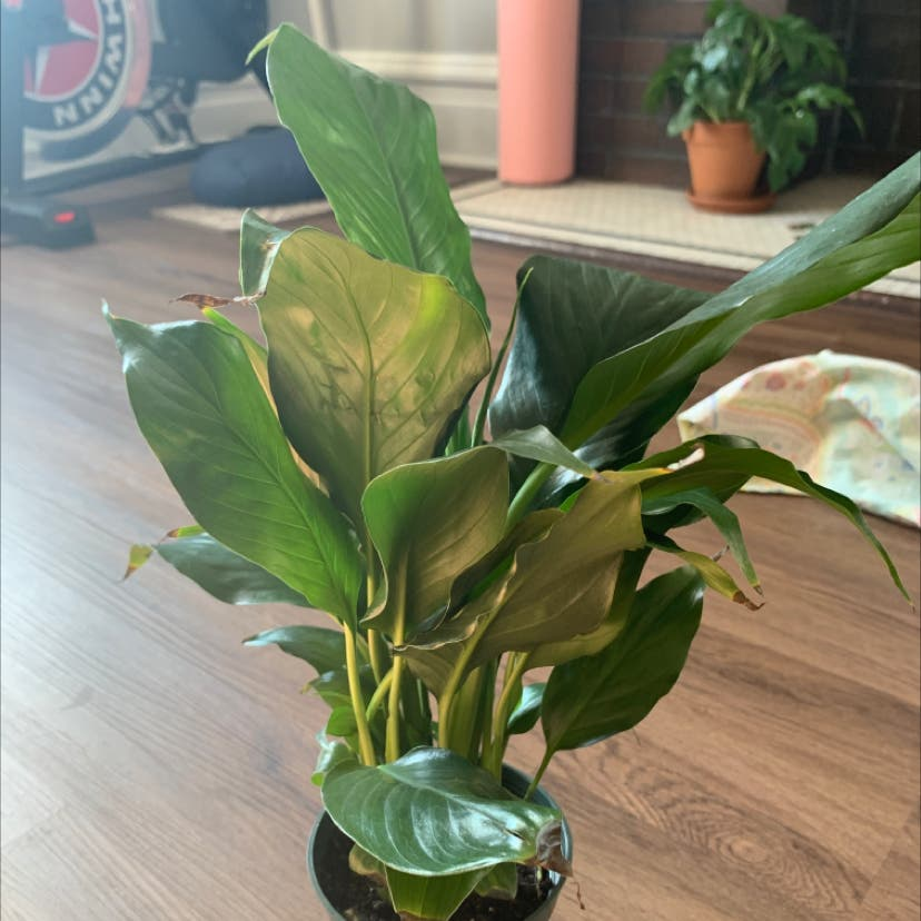 Peace Lily plant in St. Louis, Missouri