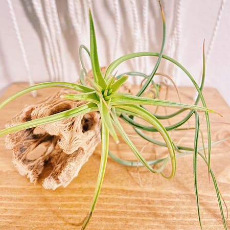 Photo of the plant species Exserta Air Plant by Kwuff named Fredrick on Greg, the plant care app
