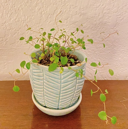 Photo of the plant species Creeping Wire Vine by Kwuff named Dottie on Greg, the plant care app