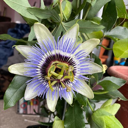 Photo of the plant species Bluecrown Passionflower by Sophia90012 named Jelly on Greg, the plant care app