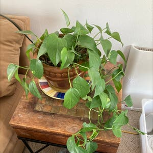 Pothos 'Jade' plant photo by 84frogsinatrenchcoat named Fred Plant on Greg, the plant care app.
