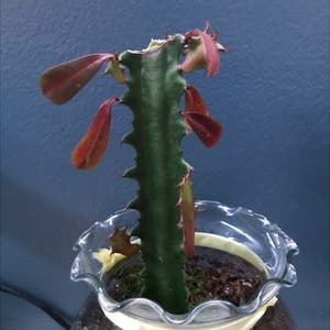 Candelabra Cactus plant photo by Oedekoven06 named Remington on Greg, the plant care app.