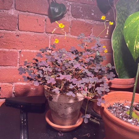 Photo of the plant species Volcanic Sorrel 'Zinfandel' by Vchil named Purple Oxalis on Greg, the plant care app
