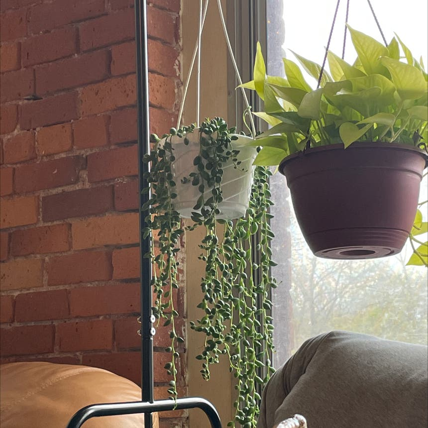 String of Tears plant