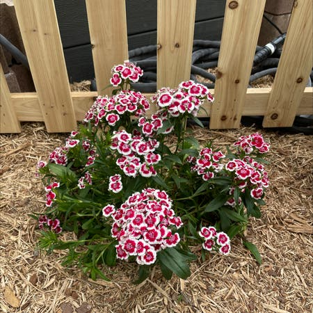Photo of the plant species Sweet william by Brianhollings named Your plant on Greg, the plant care app