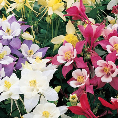 Photo of the plant species Rocky Mountain Columbine by Kendall named Kesha on Greg, the plant care app
