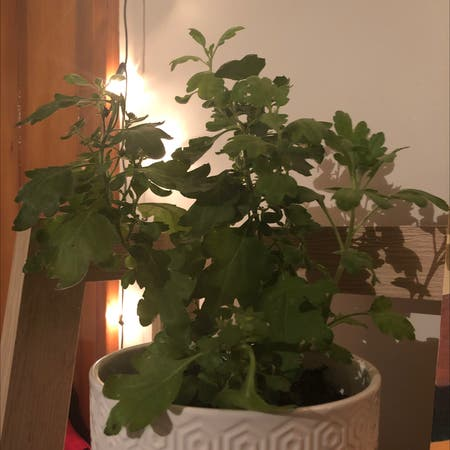 Photo of the plant species Epazote by Ellasoasis named Terra on Greg, the plant care app