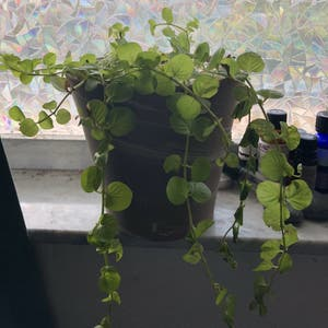 Creeping Jenny plant photo by Schraderc named Eclipse on Greg, the plant care app.
