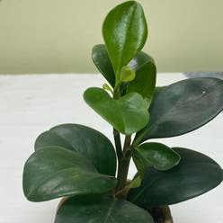Baby Rubber Plant plant