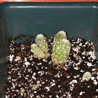 Thimble Cactus plant in Stockton, California