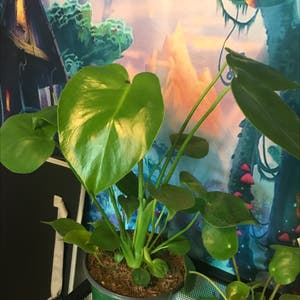 Rating of the plant Monstera named Maria by Getplanting on Greg, the plant care app