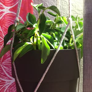 Peperomia 'Amigo Marcello' plant photo by Getplanting named elle on Greg, the plant care app.