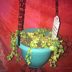 Creeping Jenny plant photo by Getplanting named jenny on Greg, the plant care app.