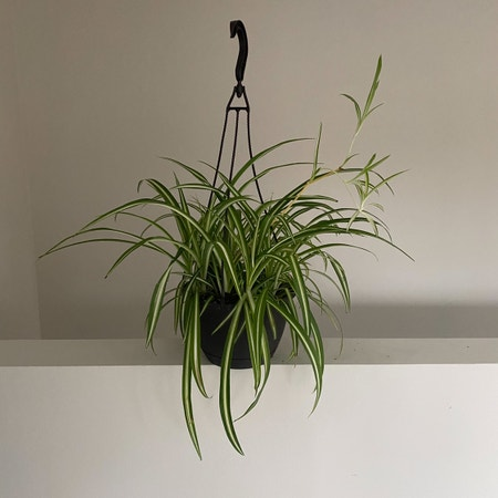 Photo of the plant species Variegated Spider Plant by Aubreeschlosser named Tolkien on Greg, the plant care app