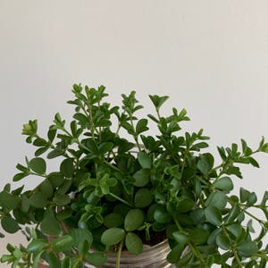 Beetle Peperomia plant photo by Jordanlovesplants named Eva on Greg, the plant care app.