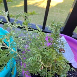Absinth sagewort plant in Somewhere on Earth