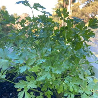 Italian Parsley plant in Somewhere on Earth
