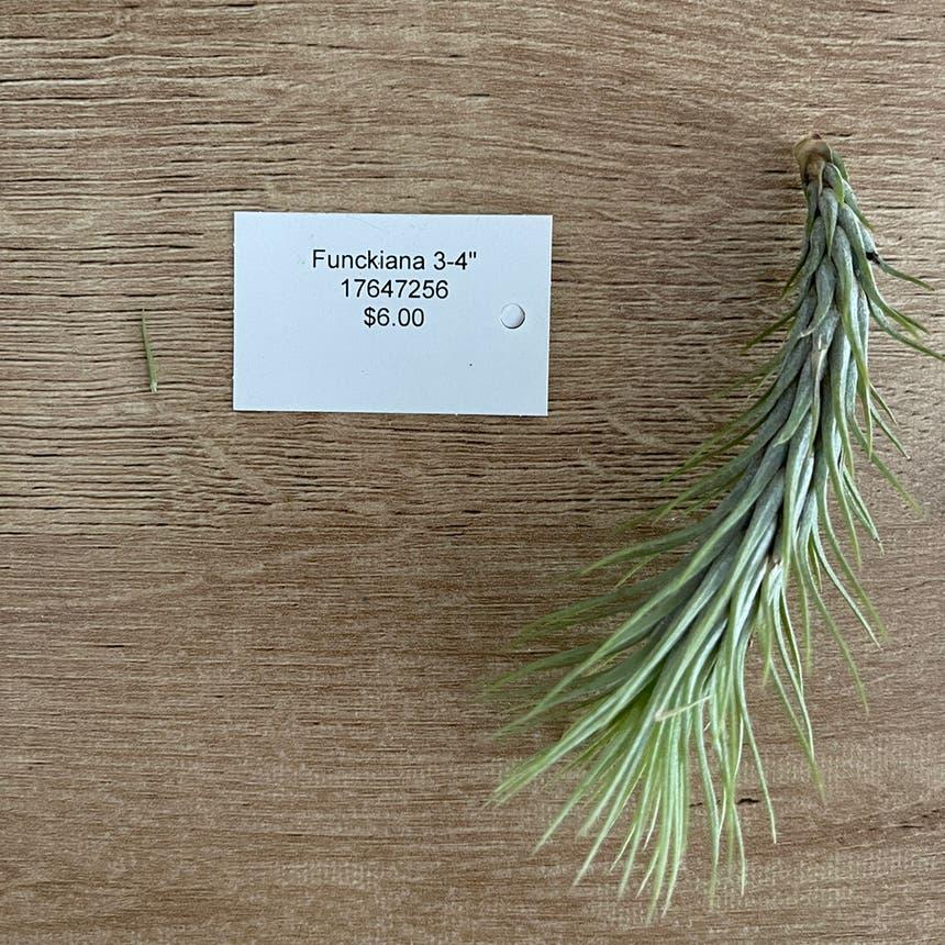 Tillandsia funckiana plant