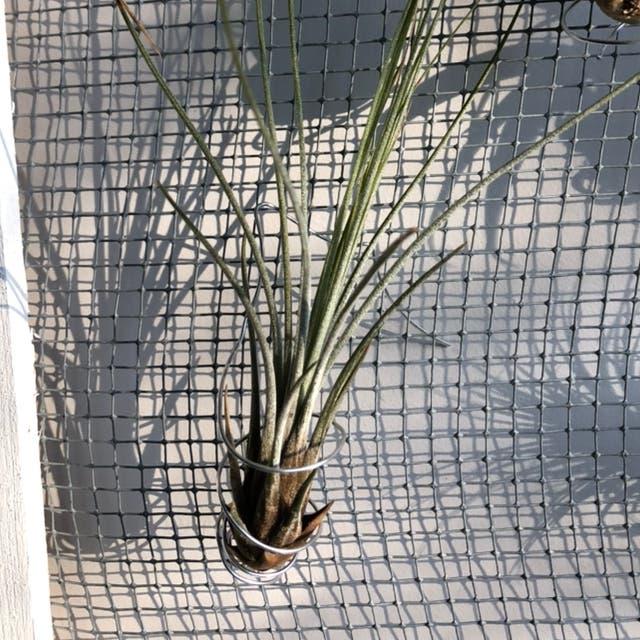 Tillandsia juncea plant