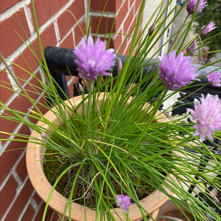 Photo of the plant species Wild chives by Jsinj named Jane Child on Greg, the plant care app