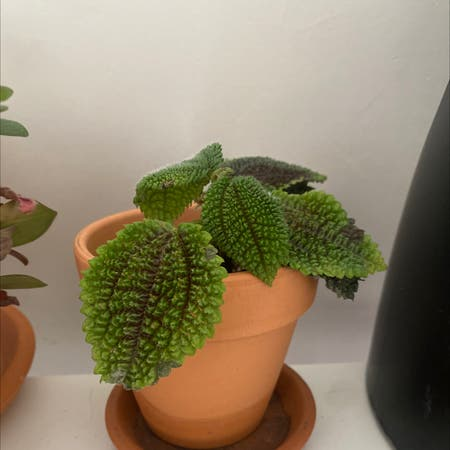 Photo of the plant species Pilea Involucrata by Donmad9 named plante de l'amitié on Greg, the plant care app