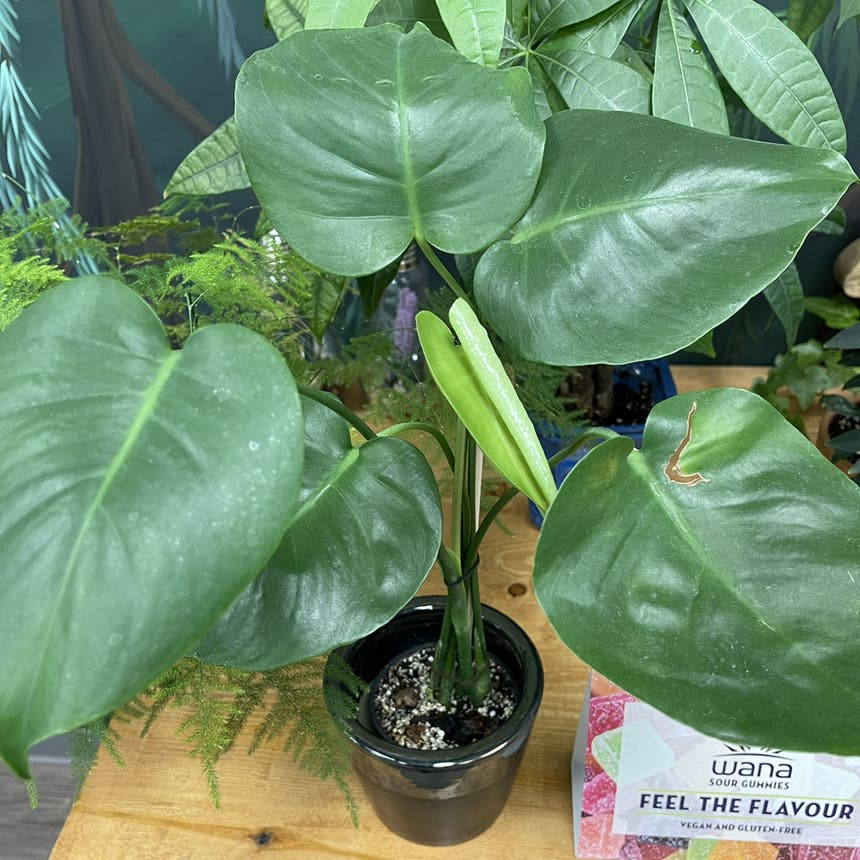 Monstera plant in Medicine Hat, Alberta