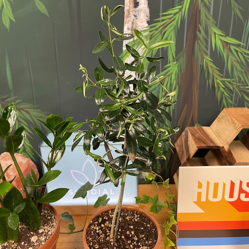 Olive Tree plant in Medicine Hat, Alberta