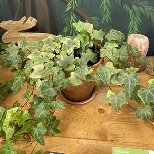 Rating of the plant English Ivy named 7 Foot Ivy by Kingcanna on Greg, the plant care app