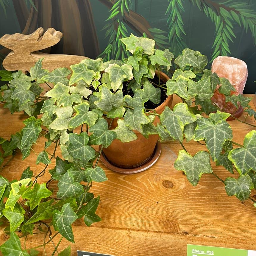English Ivy plant in Medicine Hat, Alberta