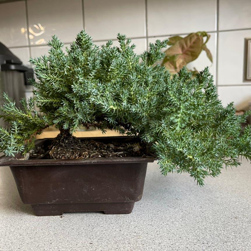 Sargent juniper plant in Medicine Hat, Alberta
