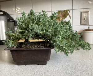 Sargent juniper plant photo by Kingcanna named June buggy Bonsai on Greg, the plant care app.