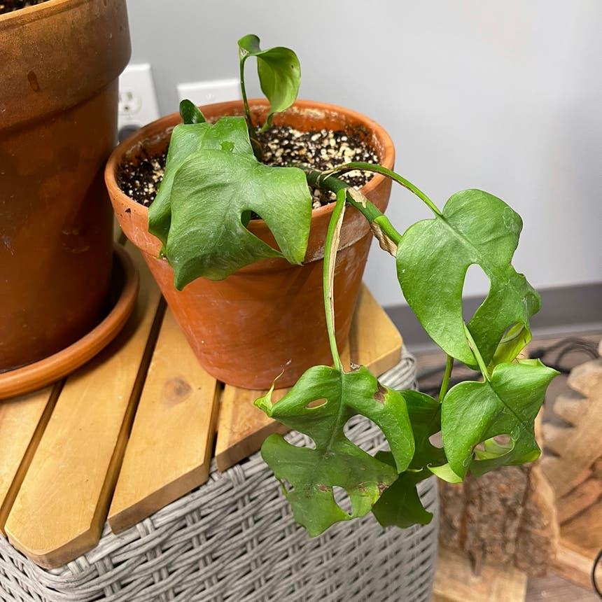 Mini Monstera plant in Medicine Hat, Alberta