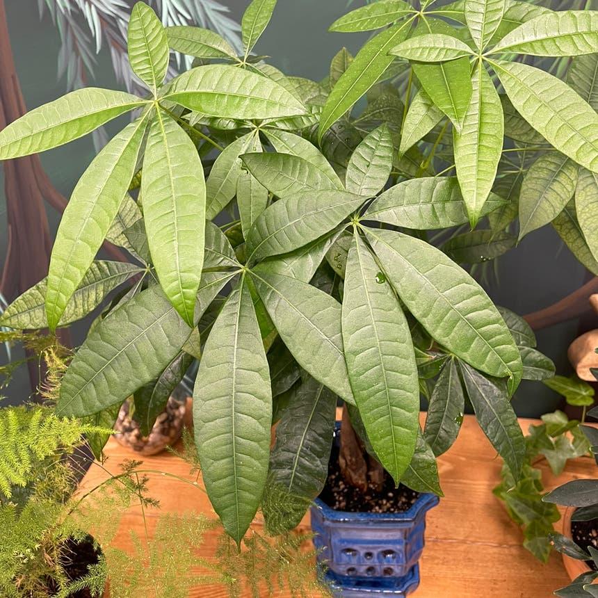 Money Tree plant in Medicine Hat, Alberta