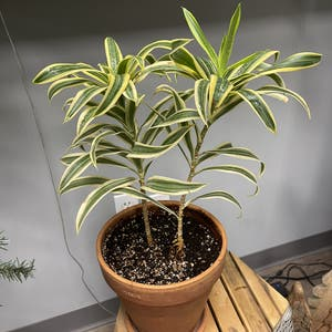 Song of India plant photo by Kingcanna named Dracaena on Greg, the plant care app.