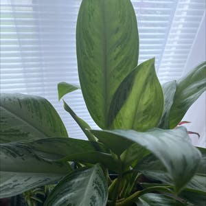 Chinese Evergreen plant photo by Leslie named Ming Lee on Greg, the plant care app.