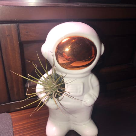 Photo of the plant species Seleriana Air Plant by Quintonlawler named Luna on Greg, the plant care app